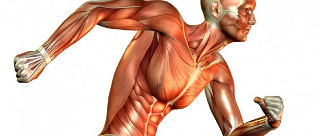 Muscle fibers are muscle cells, known as fibers because of their long, string-like appearance.  There are three basic types. Some scientists claim more, but for our discussion, three will suffice...